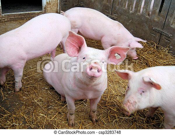 小, 豬 - csp3283748