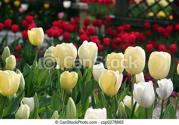 春天, 鬱金香 - csp0278665