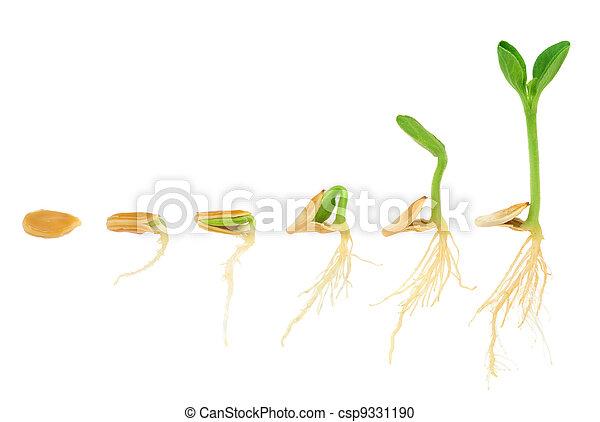 演化, 概念, 序列, 被隔离, 植物, 生長, 南瓜 - csp9331190