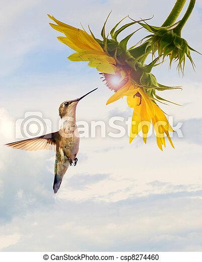 蜂鳥, 向日葵, concept. - csp8274460